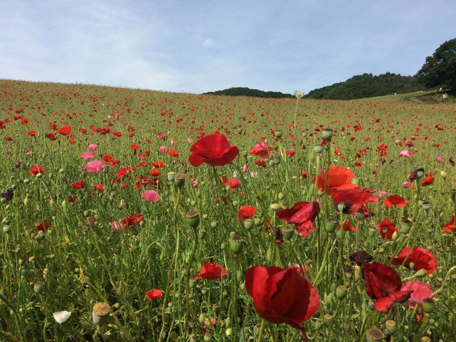 The poppy fields of Sainokuni Friendship Farm.