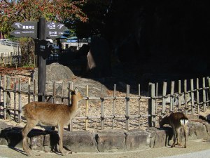 A doe and her fawn graze along the walkway to the Uguisuhodo Nature Walk trail