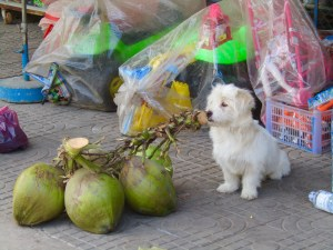 This puppy could care less about the hustle bustle around him, content with chewing away on the stem of a branchful of coconuts.