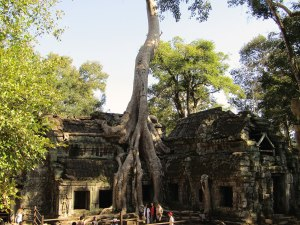 """The famous """"Tomb Raider Tree"""" at Ta Prohm. Many structures in the temple have been swallowed by the large Spung trees."""