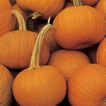 Pumpkin Small Suger