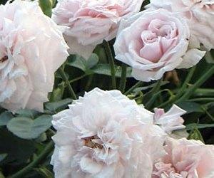 Rose Bourbon