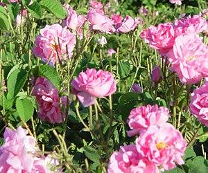 Rose Damascene
