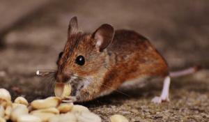 rats eating nuts