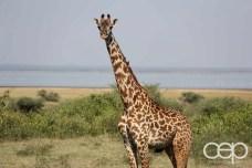 A photo of a giraffe in the Savannah