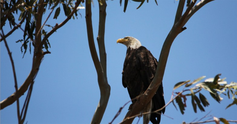 Lake Casitas Eagle