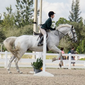 Large grey Selle Francais Gelding, Claim To Fame