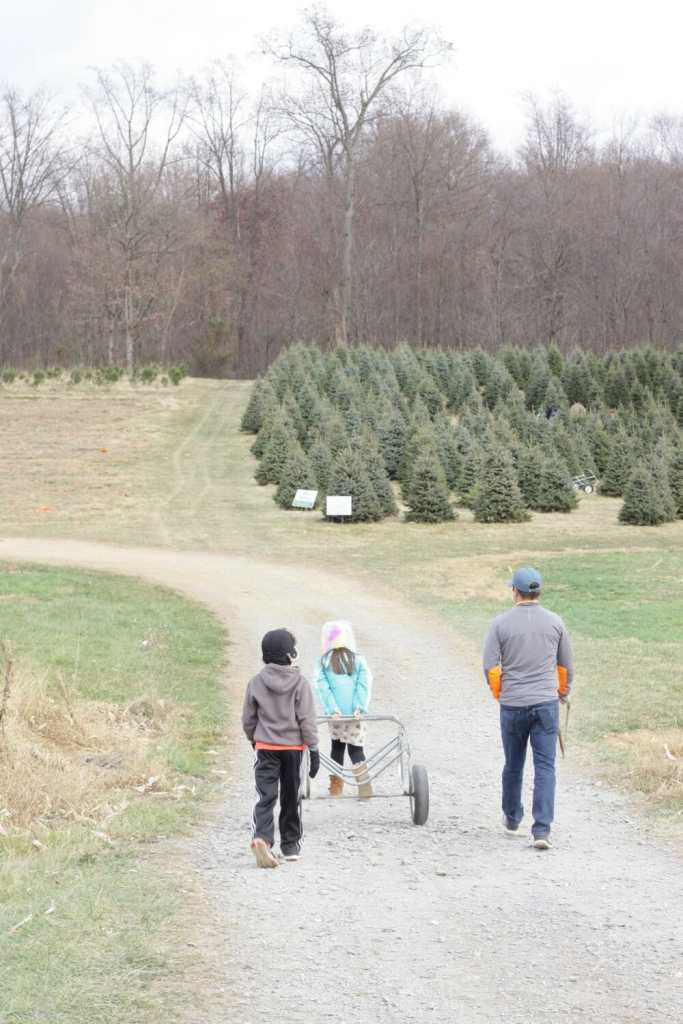 At Gaver tree Farm- cut your own trees