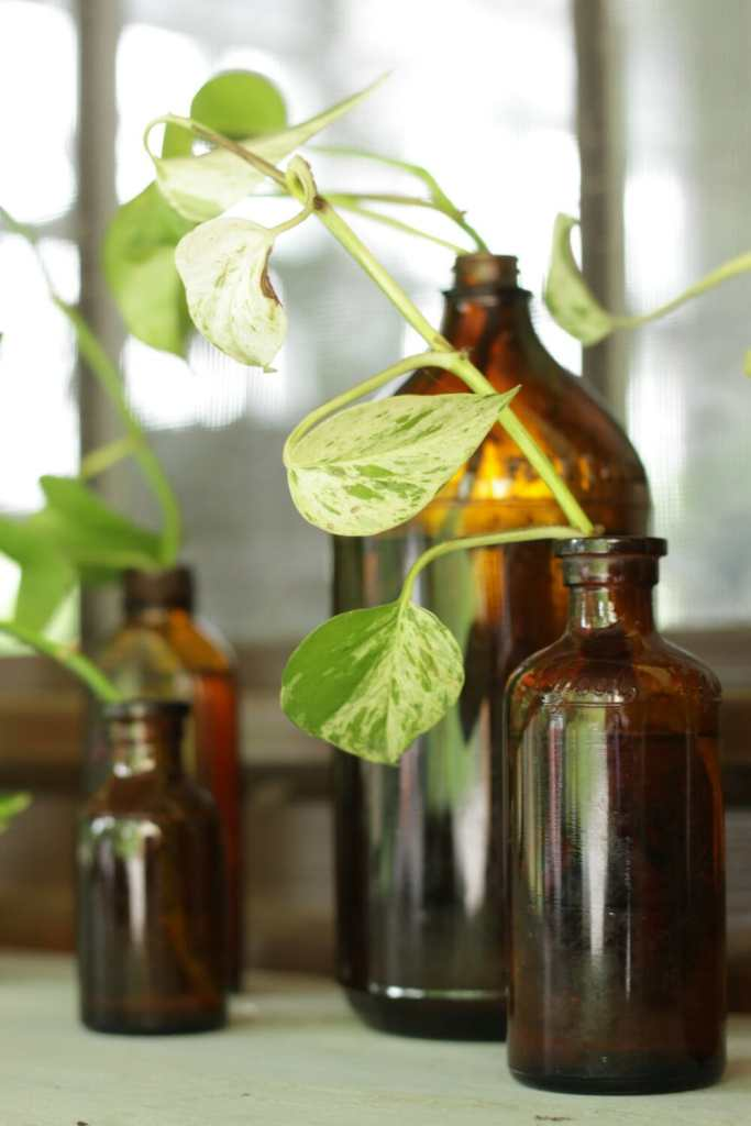 Amber glass vintage bottles propagating pothos