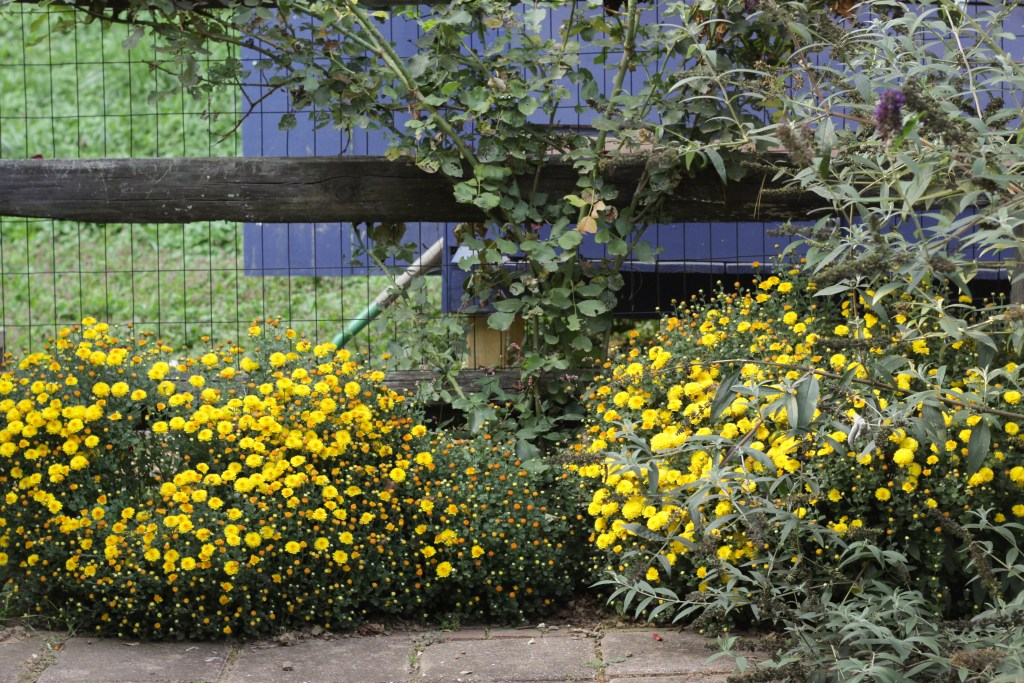Thriving Mums by chicken coop