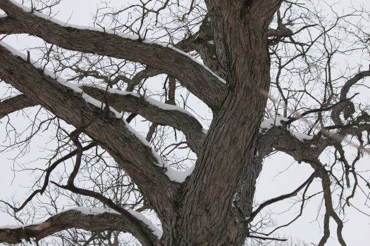 swamp white oak bark (Quercus bicolor)