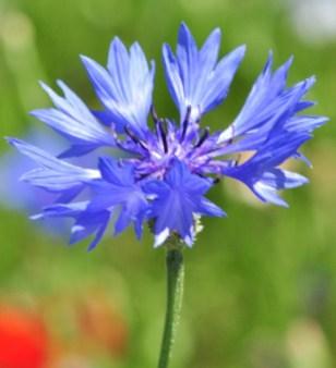 « Fleur » de la forme sauvage