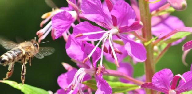 L'épilobe à feuilles étroites 2