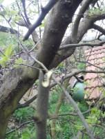 societe_horticulture_de_rive_de_gier_greffe_3