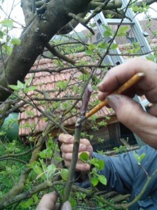 societe_horticulture_de_rive_de_gier_greffe_7