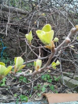 societe_horticulture_de_rive_de_gier_kiwi_2