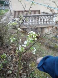 societe_horticulture_de_rive_de_gier_mise_en forme_poirier_2