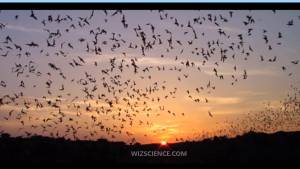 Mexican Free-Tailed Bats at Dusk