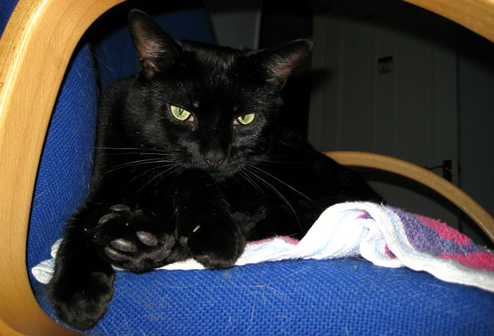 The Bombay Cat Breed A Miniature Wild Panther