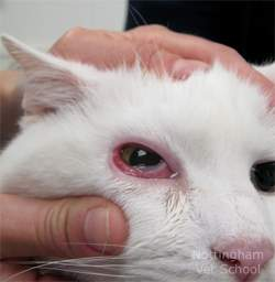 Image Result For Cat Allergies Eyes