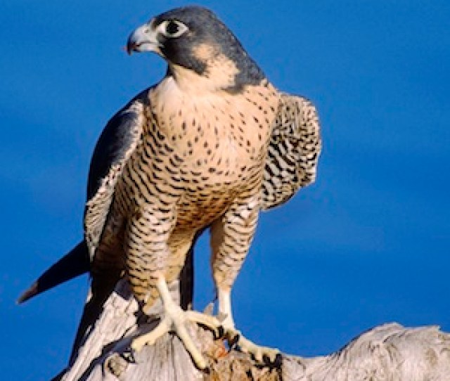 The Peregrine Falcon Occasionally Preys On Waterfowl The Fastest Animal On Earth It Can Attain Diving Speeds Of  Miles Per Hour