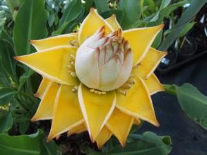 Musella lasiocarpa – Flor de loto dorada