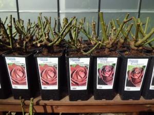Empieza la temporada de plantación de los rosales