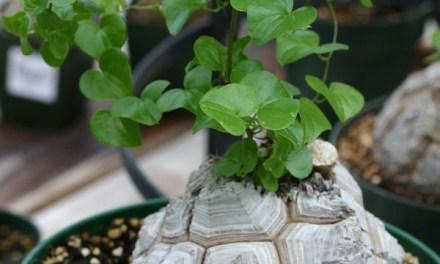 Dioscorea – La planta del Ñame