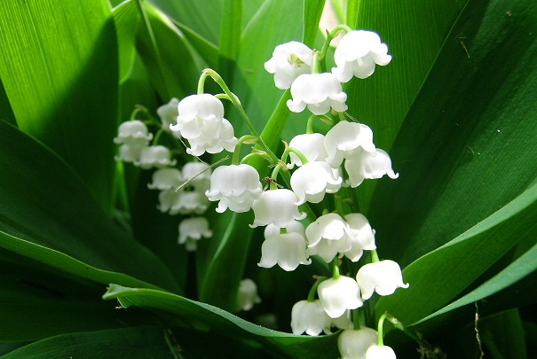 https://i1.wp.com/www.catalunyaplants.com/wp-content/uploads/2013/03/muguet.jpg