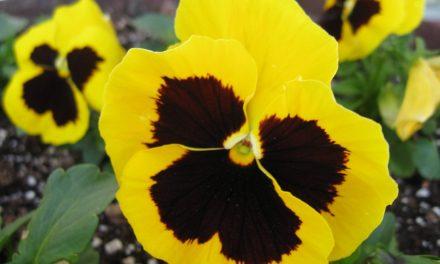 Vídeo sobre las características y cuidados del Pensamiento (Viola wittrockiana)