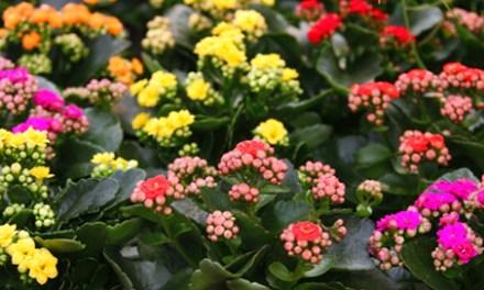 Planta del mes de Marzo: Kalanchoe con un 15% de descuento.