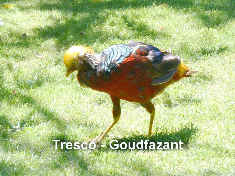 Tresco - Goudfazant
