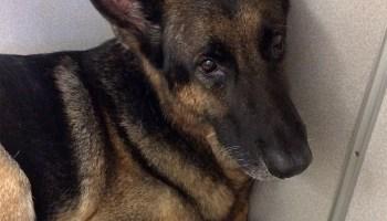 German Shepherd Dog saves Child from Snake | Pro Pet Hero Blog