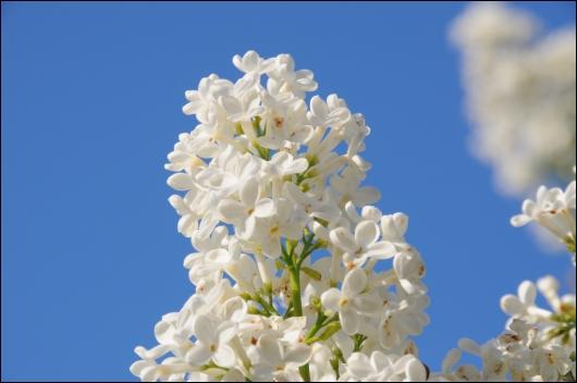 Hvide syrener på en smuk blå himmel