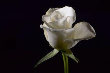 Hvid rose