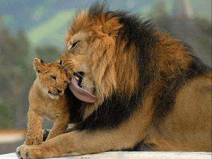 lion-grooming