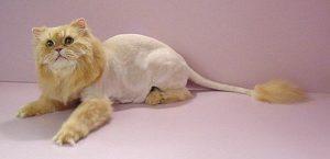 lioncut3