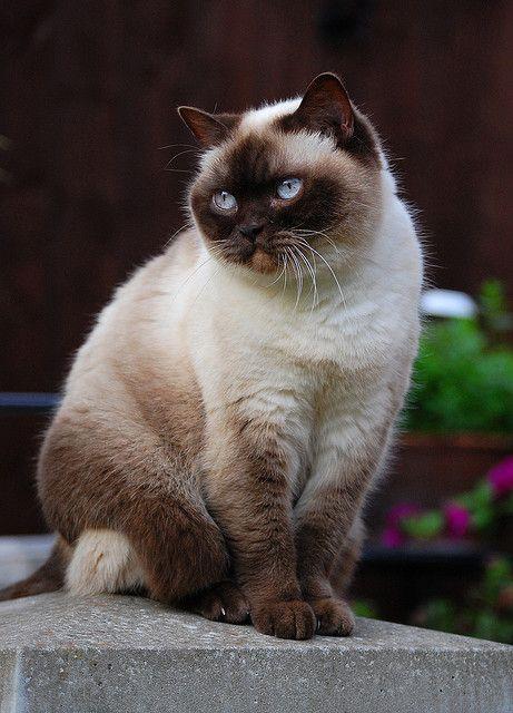 Himalayan Cat Cat Breed Selector