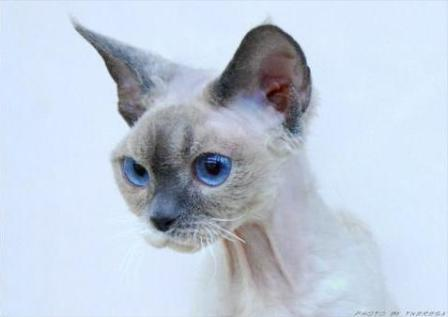 Image Result For Devon Rex Cat Hypoallergenic