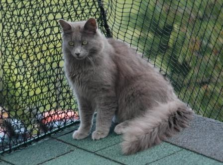 Nebelung Cat Origin And History