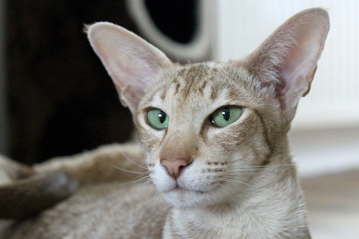 Oriental Shorthair Cats with big ears