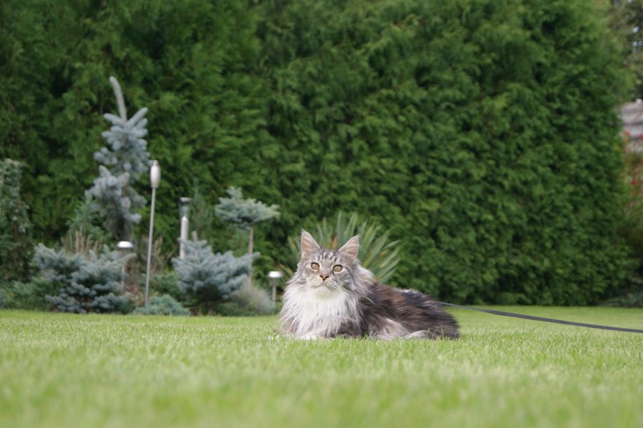 Maine Coon Cat Breeds With Long Hair
