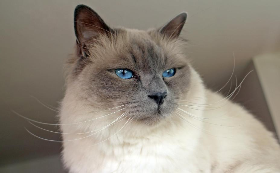 Birman Long Hair Cat Breed