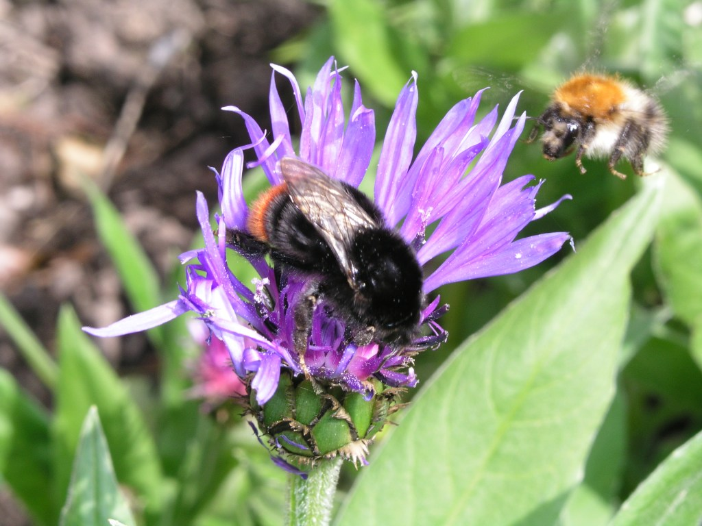 Red tailed bumblebee and Common carder bee
