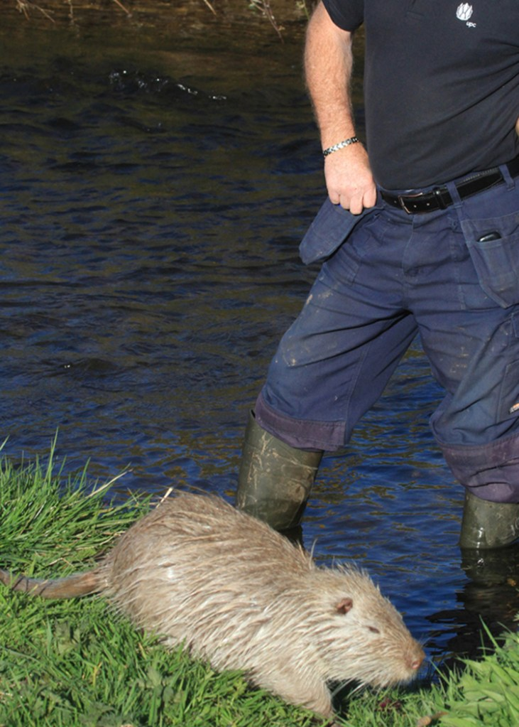 Invasive species Coypu taken from Irish river in 2015
