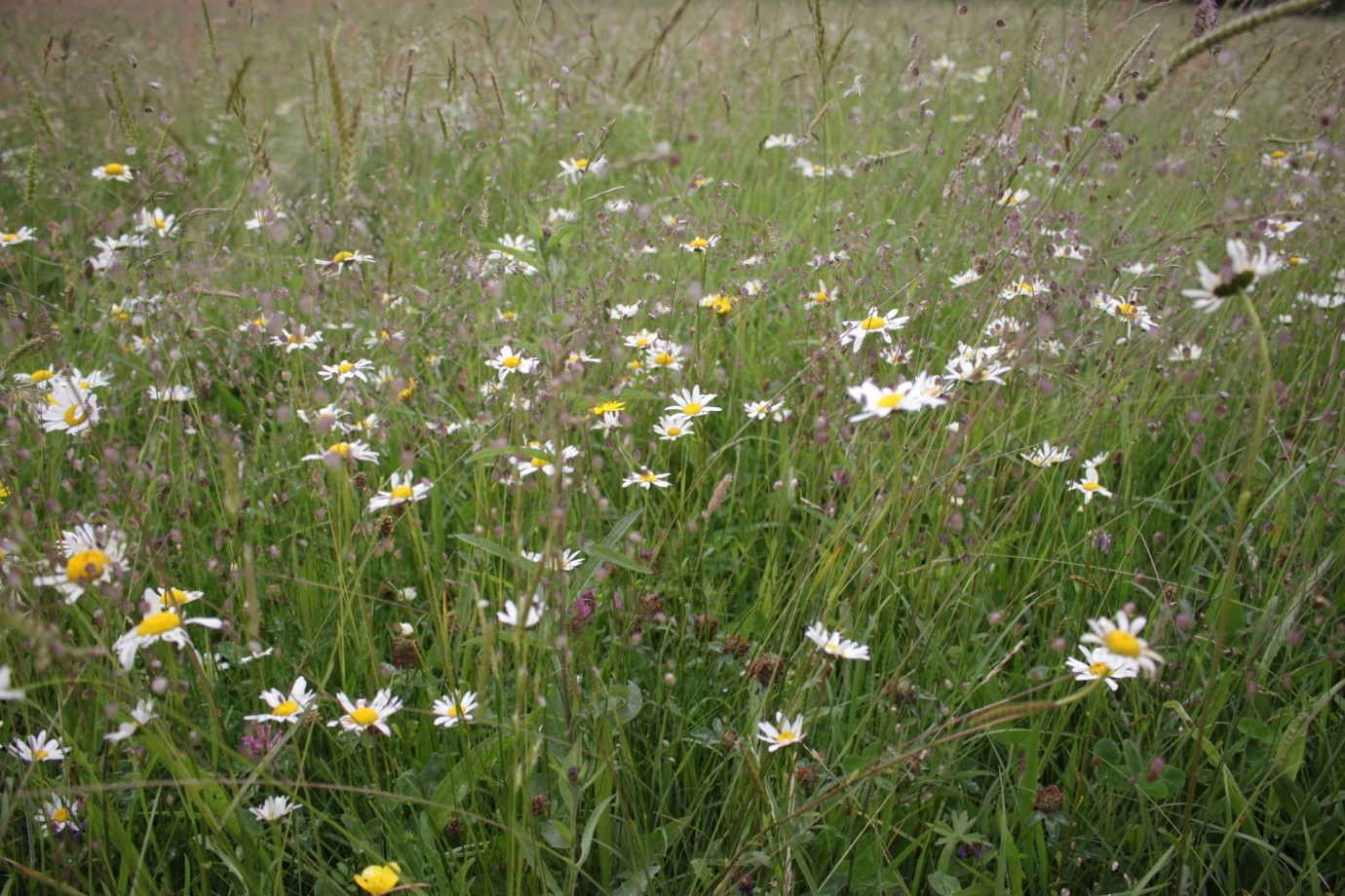 Flower-rich, dry hay meadow in County Leitrim