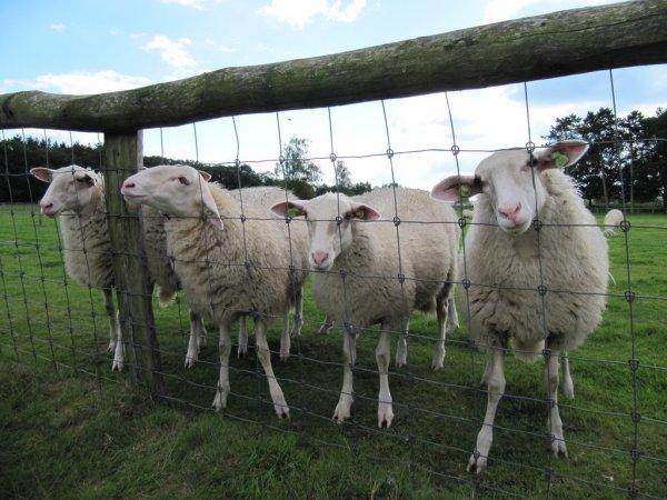 four sheep
