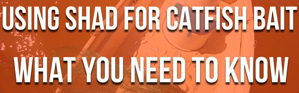 Shad For Catfish Bait