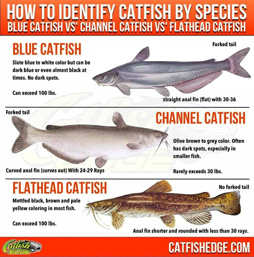 Than to feed a catfish