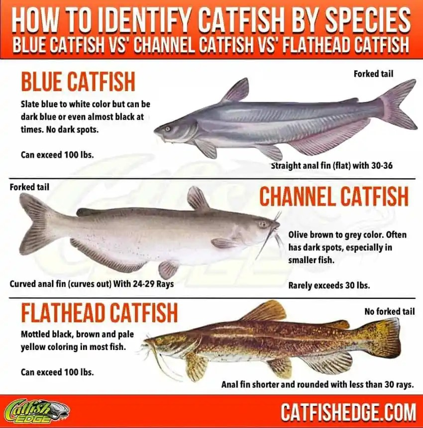How To Identify Catfish By Species